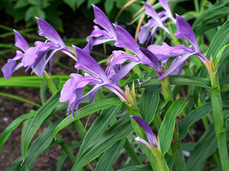<i>Roscoea</i> sp. in flower in UBC's Asian Garden