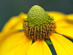 A close-up of the many flowers of Rudbeckia 'Herbstsonne'