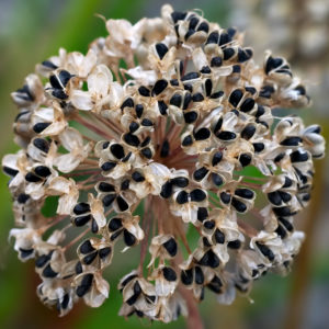 The fruiting head of Allium turcomanicum