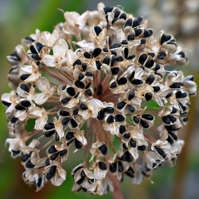 The fruiting head of <i>Allium turcomanicum</i>
