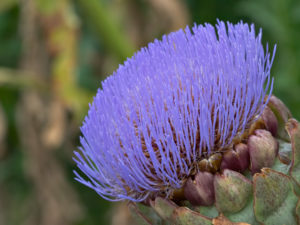 Cynara cardunculus [Scolymus Group] inflorescence