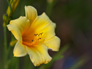 The daylily cultivar 'Penny's Worth'