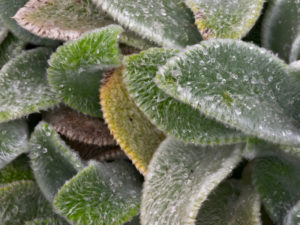 The fuzzy foliage of Stachys byzantina 'Silver Carpet'