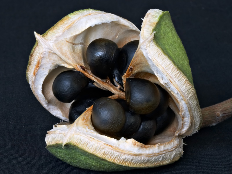 The dehiscing fruit of <i>Xanthoceras sorbifolium</i>