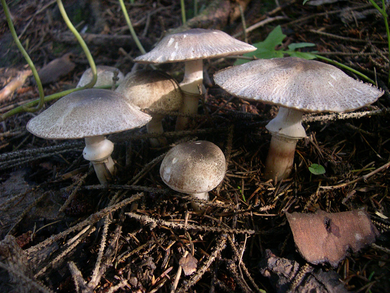 The fruiting bodies of <i>Agaricus deardorffensis</i>
