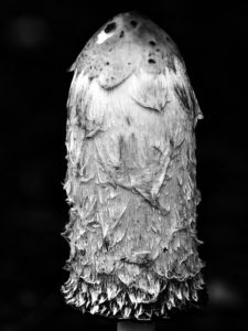 Coprinus comatus, rendered in black-and-white