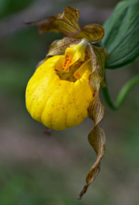 A close-up of the flower of Cypripedium parviflorum var. pubescens