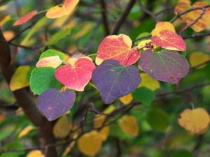 The autumn foliage of Disanthus cercidifolius