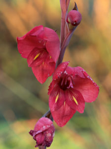 Gladiolus flanaganii, the suicide lily