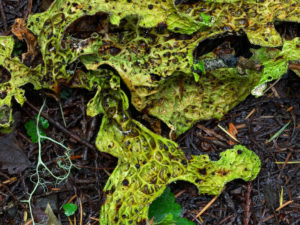 Lobaria pulmonaria, on the ground