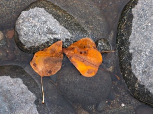 Fallen leaves of Populus trichocarpa