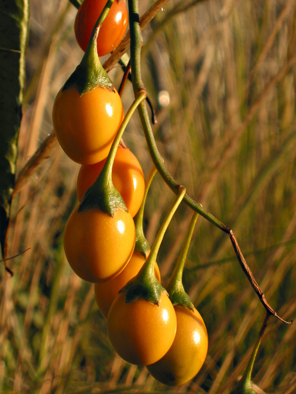 The fruits of <i>Solanum laciniatum</i>
