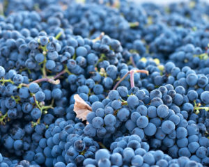 Harvested 'Cabernet Franc' grapes