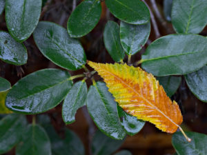 The leaf of hornbeam-leaved maple