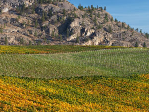Vineyards near Osoyoos, British Columbia, Canada