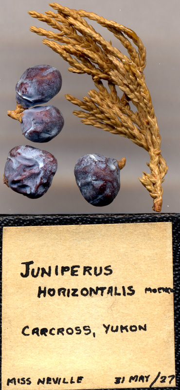 Archival collection of <i>Juniperus horizontalis</i>