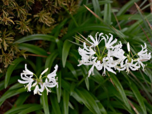 Flowers of Nerine undulata 'Alba'