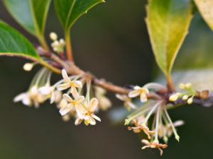 The sweetly-scented flowers of Osmanthus heterophyllus