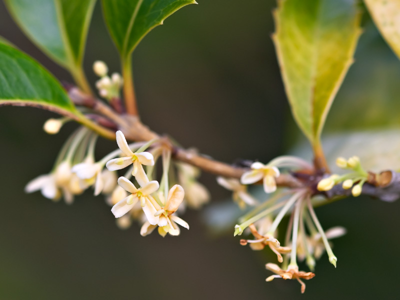 The sweetly-scented flowers of <i>Osmanthus heterophyllus</i>
