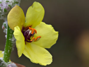 A close-up of the flower of Verbascum eriophorum