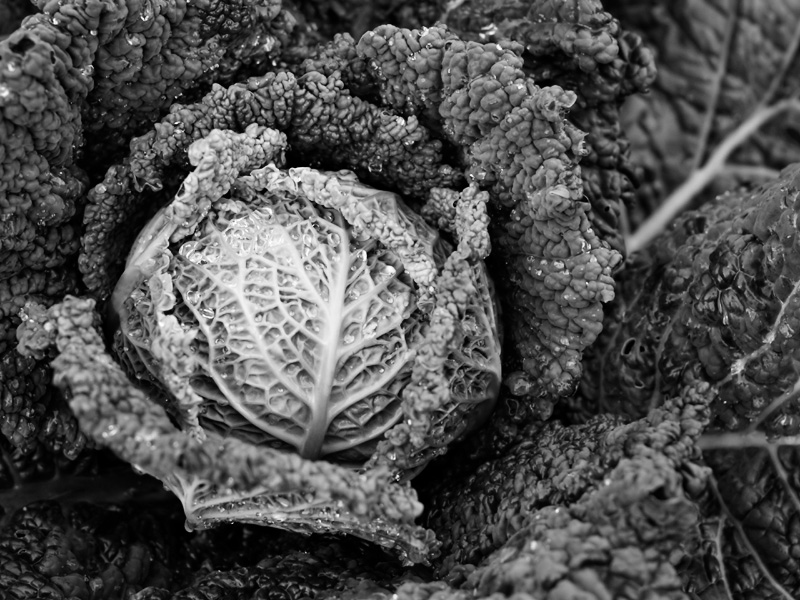 'Melissa' Savoy cabbage in black-and-white