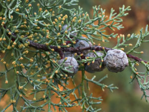 Cones and foliage of Cupressus arizonica 'Blue Ice'