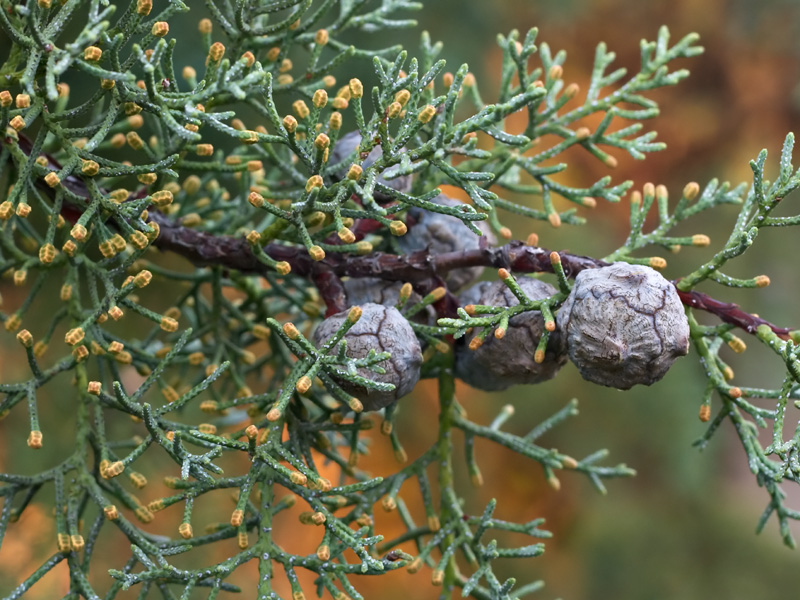 Cones and foliage of <i>Cupressus arizonica</i> 'Blue Ice'
