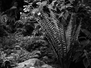 Young fronds of Dryopteris sp. aff. wallichiana in black-and-white