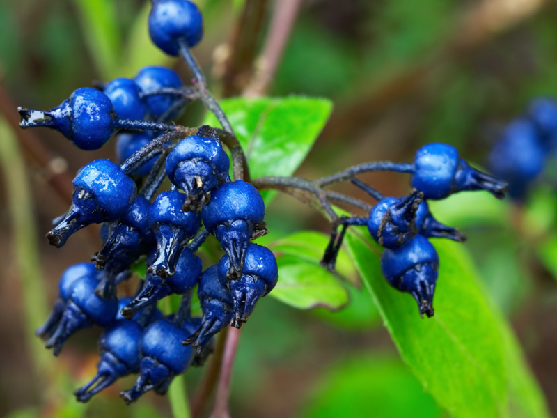 The uncommonly-blue fruits of <i>Hydrangea febrifuga</i>