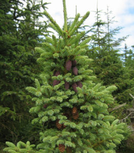 Picea mariana, from a naturalised population in Kyloe Wood, Northumberland, England