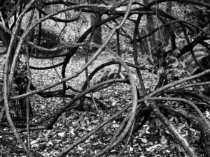 The woody base of the climbing vine, Rosa filipes 'Kiftsgate' in black and white