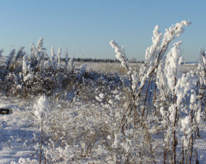 A wintry scene of Rumex crispus covered in snow