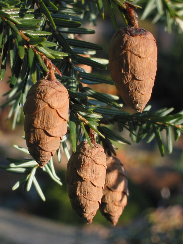 Cones of <i>Tsuga canadensis</i> 'Frosty'