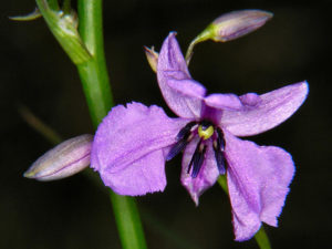 Flower of Dichopogon strictus