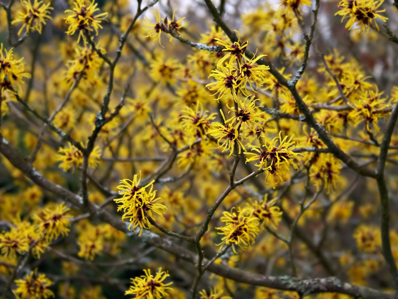 The flowers of <i>Hamamelis mollis</i>
