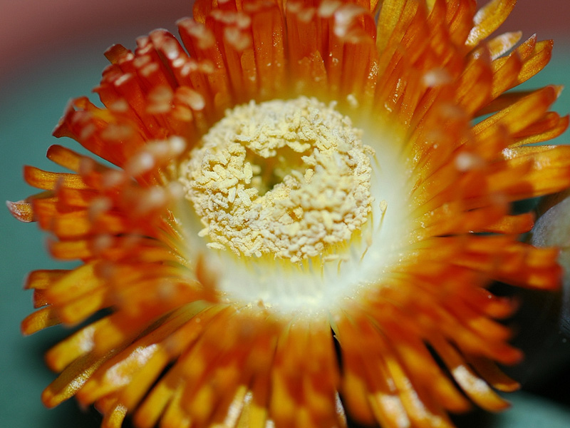 The flower of Pleiospilos nelii