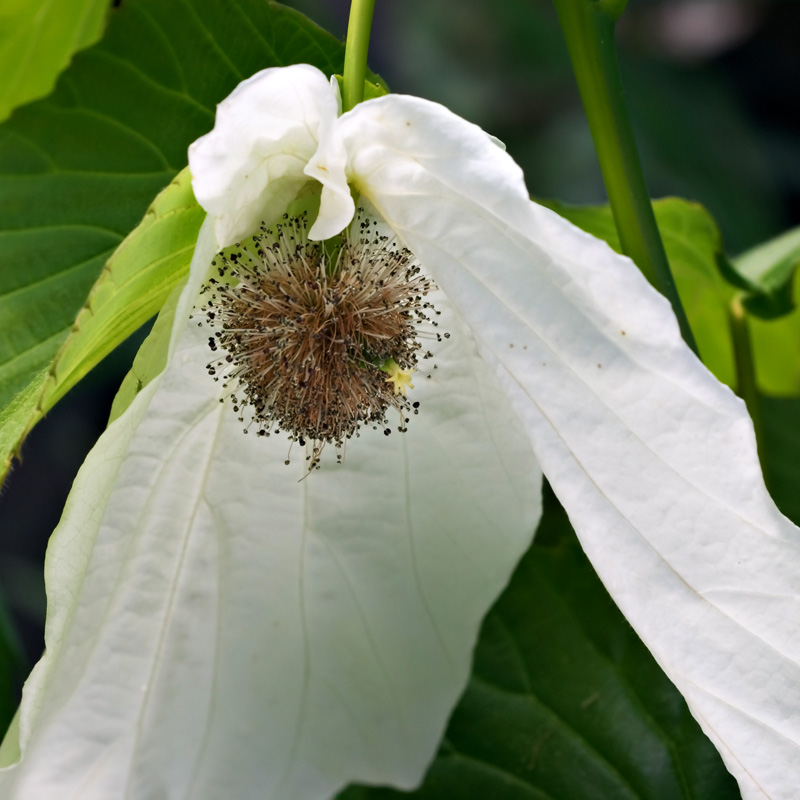 Inflorescence close-up of <i>Davidia involucrata</i> 'Sonoma'