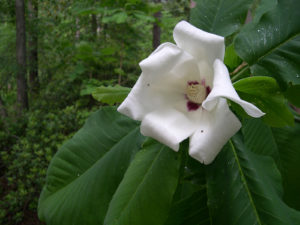 Flower and foliage of Magnolia ashei