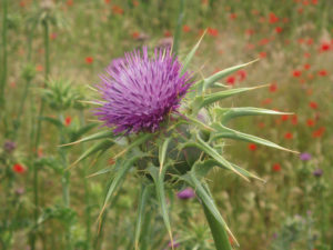 The inflorescence of Silybum marianum