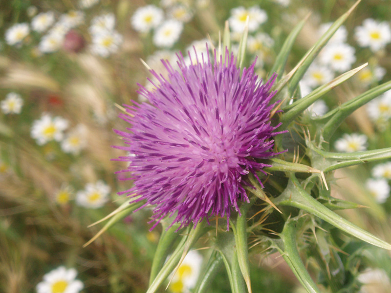 A close-up of Silybum marianum