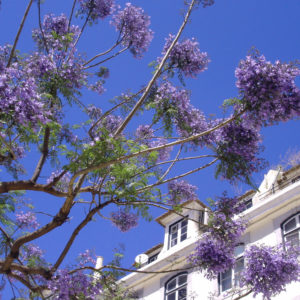 The inflorescences of Jacaranda mimosifolia