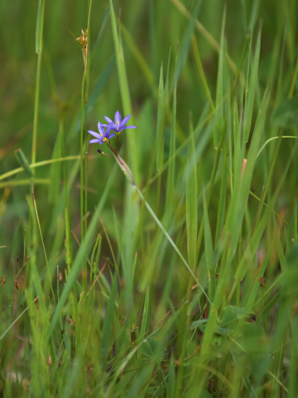 <i>Sisyrinchium montanum</i> growing among the grasses in Manitoba