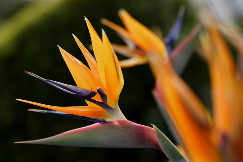 Flower of Strelitzia reginae
