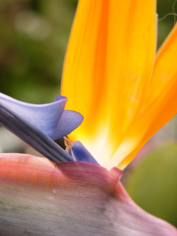 Close-up of flower of Strelitzia reginae