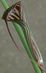 Arisaema ciliatum, a member of the arum family
