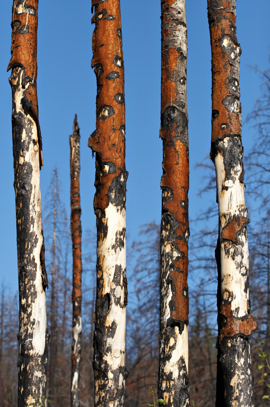 The burnt trunks of <i>Populus tremuloides</i>