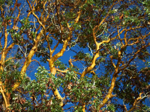 Arbutus menziesii against the sky