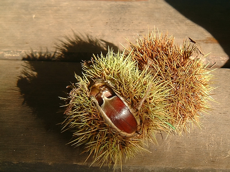 The fruit of Castanea sativa