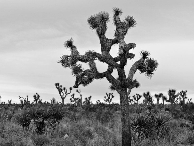 <i>Yucca brevifolia</i> in Joshua Tree National Park