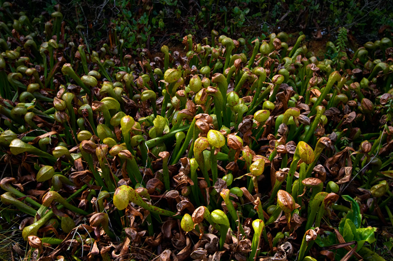 A population of <i>Darlingtonia californica</i>